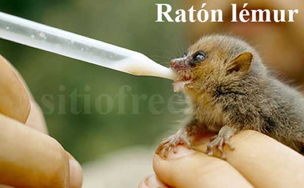 Ratón lémur de Madagascar