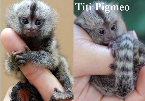 Tití Pigmeo
