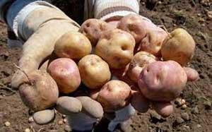 Variedad de papas en el Perú